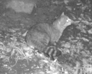 法國深山發現新貓科物種「狐貓」