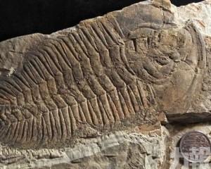 澳洲袋鼠島出土巨型三葉蟲化石