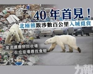 北極熊行走數百公里入城覓食