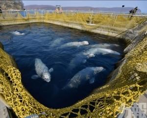「海上監獄」首批鯨魚放生