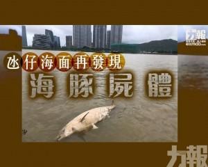 氹仔海面再發現海豚屍體