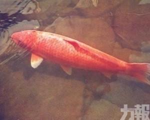 世界最長壽錦鯉 生存超過兩世紀