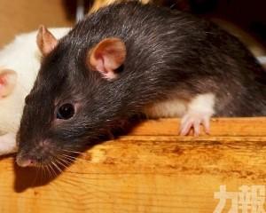 北京確認接診鼠疫病例