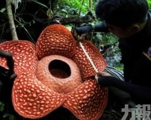 【破紀錄】世界最大食人花現身雨林