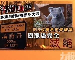 約8成棲息地受破壞 樹熊恐完全滅絕